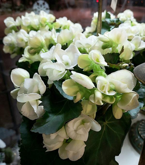 Vit Begonia Stockholm Crossandras Blommor