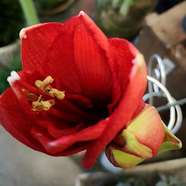 Röd Amaryllis