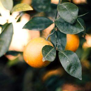 Citrus Träd Stockholm