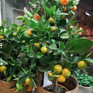 Citrus Träd