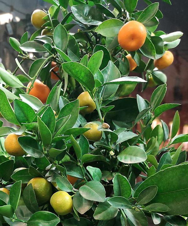 Citrus Träd hos Crossandra Blommor i Spånga