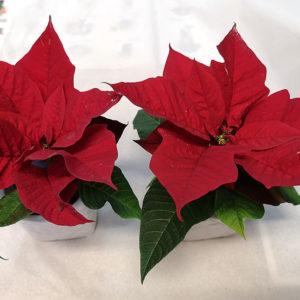 röda julstjärnor Blomsterhandel i Stockholm