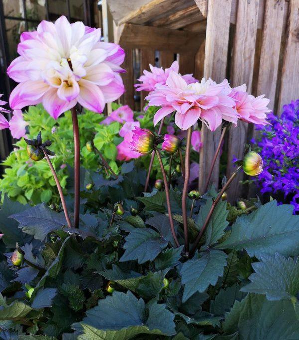 Dahlia Crossandra Blommor