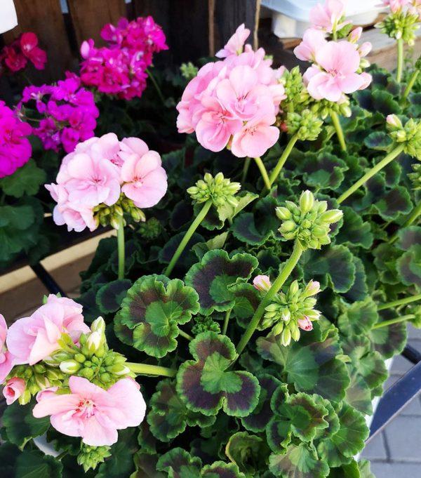 Krukväxter i Solna och spånga
